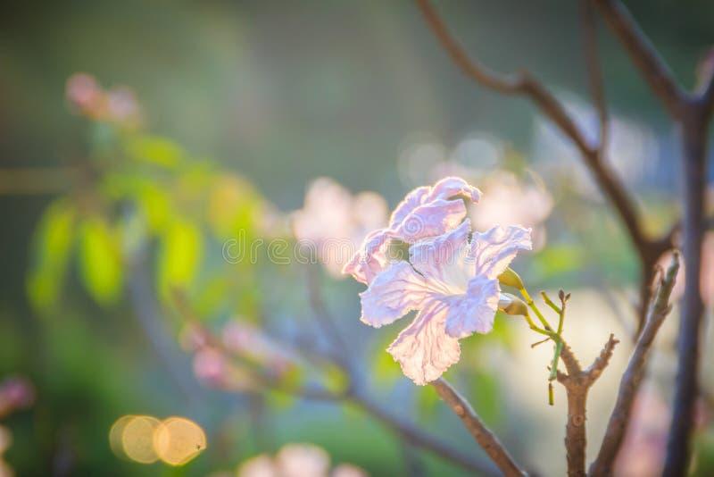 Chiuda sui fiori rosa della tromba (rosea di Tabebuia) sull'albero con crusca immagine stock