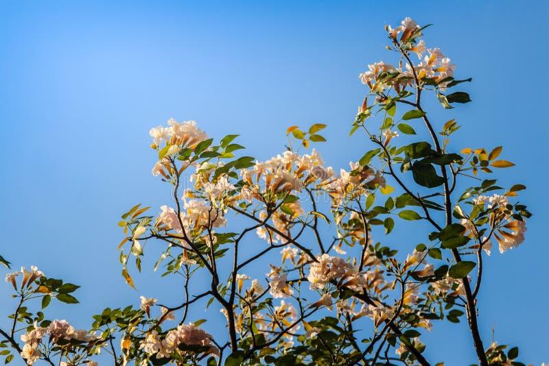 Chiuda sui fiori rosa della tromba (rosea di Tabebuia) sull'albero con il fondo del cielo blu Il rosea di Tabebuia è un albero ro fotografia stock