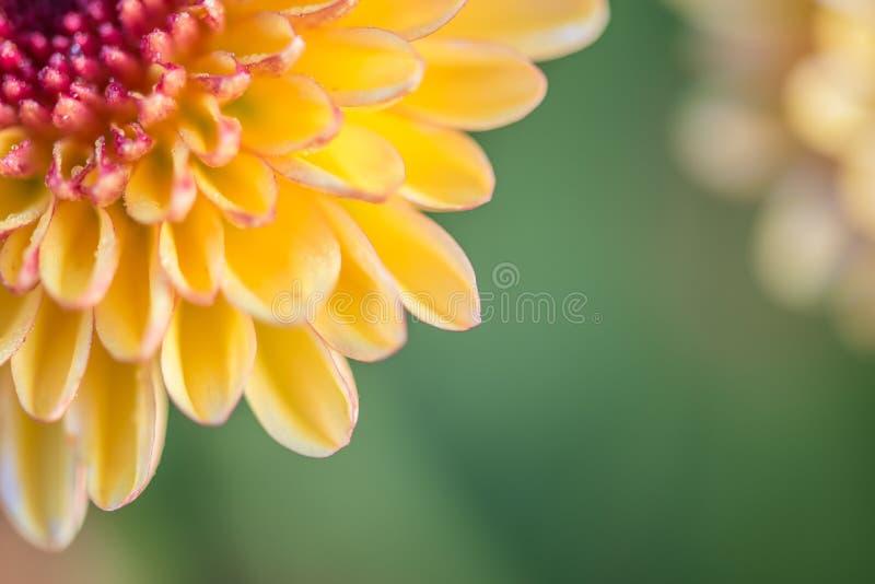 chiuda sul backg giallo dell'estratto del fiore del fondo dell'estratto del fiore fotografia stock