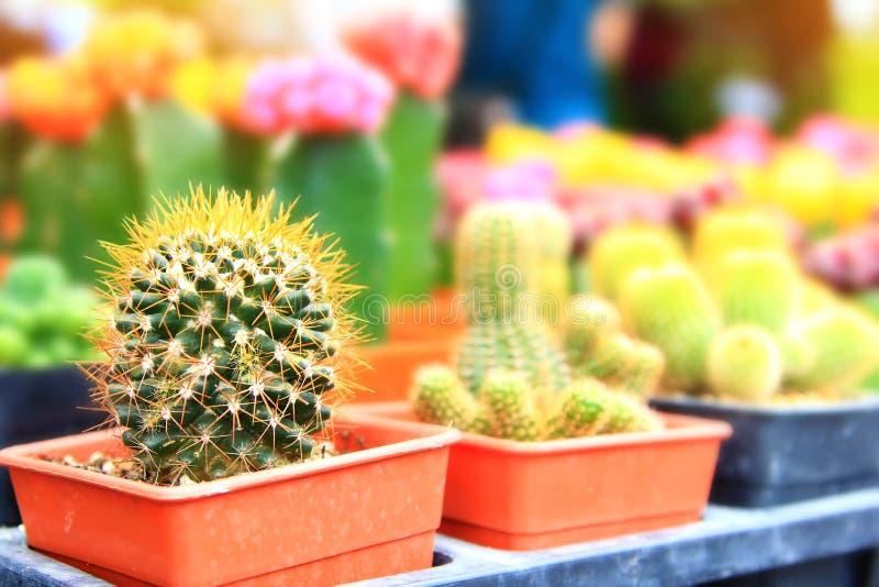 Chiuda sul bello cactus variopinto, piante ornamentali del cactus in verdure saltate fotografia stock libera da diritti