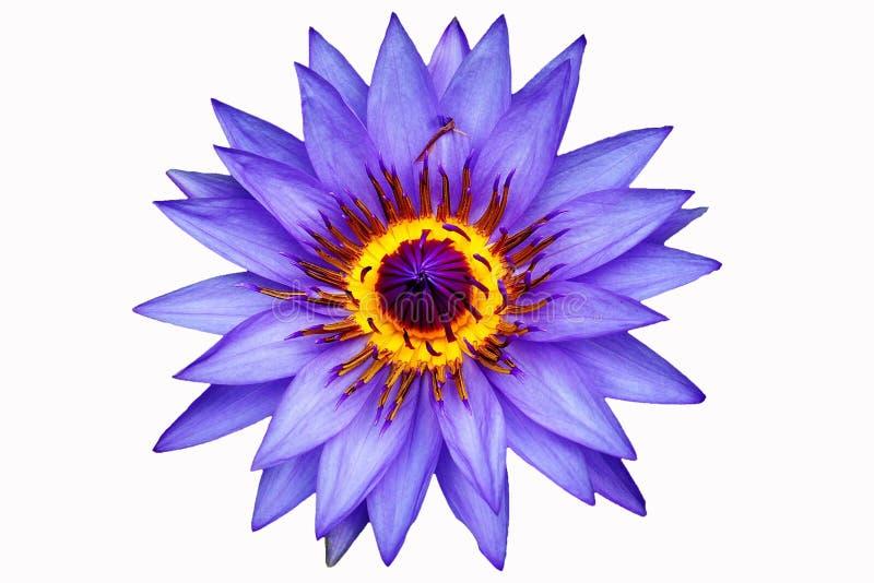 Chiuda sul blu waterlily o sul fiore di loto isolato su fondo bianco immagine stock libera da diritti
