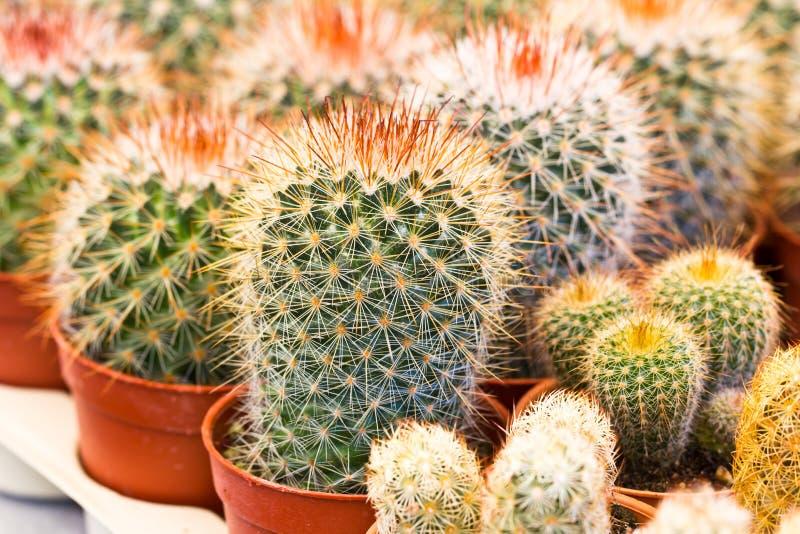 Chiuda sul cactus immagini stock libere da diritti