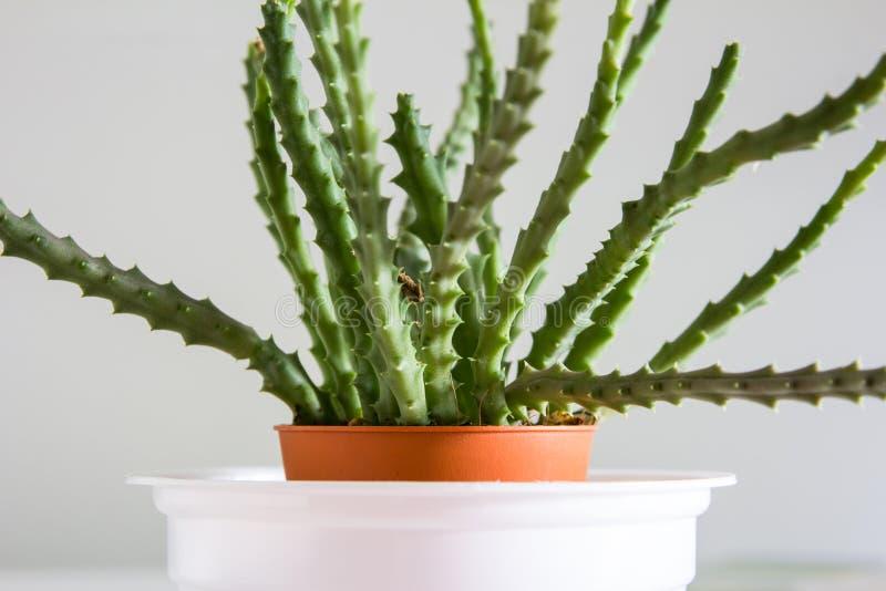 Chiuda sul cactus fotografie stock libere da diritti