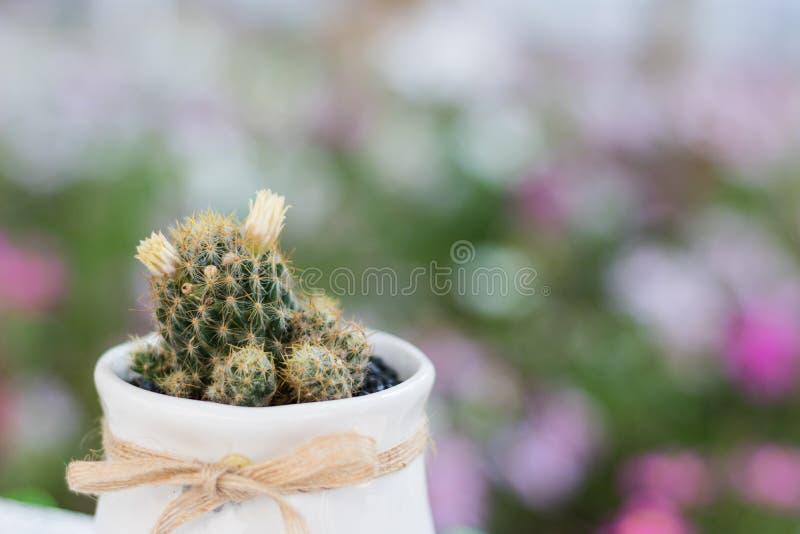 Chiuda sul cactus in piccolo vaso da fiori bianco con il fondo del bokeh della natura fotografia stock