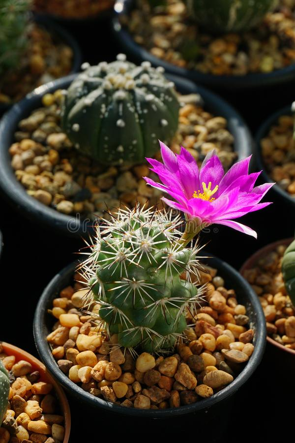Chiuda sul cactus rosa del fiore immagine stock