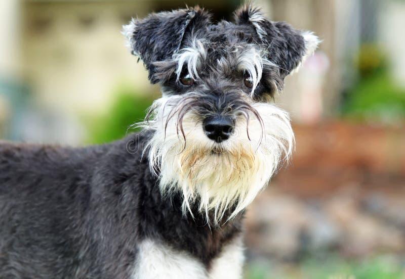 Chiuda sul cane dello schnauzer miniatura del pepe del sale del ritratto fotografie stock
