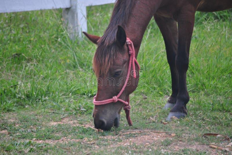 Chiuda sul cavallo che mangia l'erba immagine stock