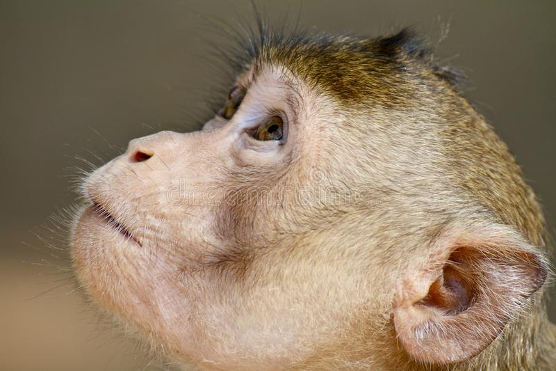 Chiuda sul cercare marrone della scimmia immagini stock libere da diritti