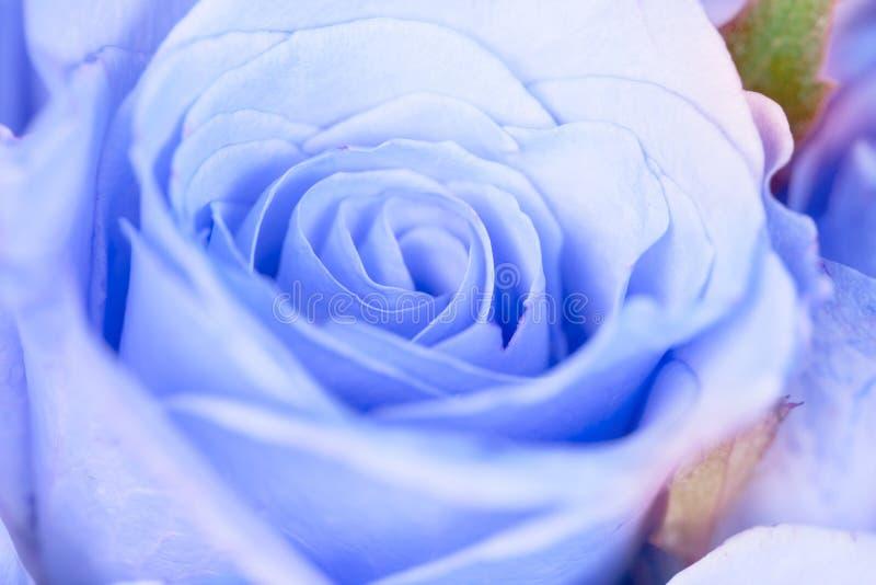 chiuda sul co fresco e romanzesco rosa blu-chiaro dolce del fiore, fotografia stock libera da diritti