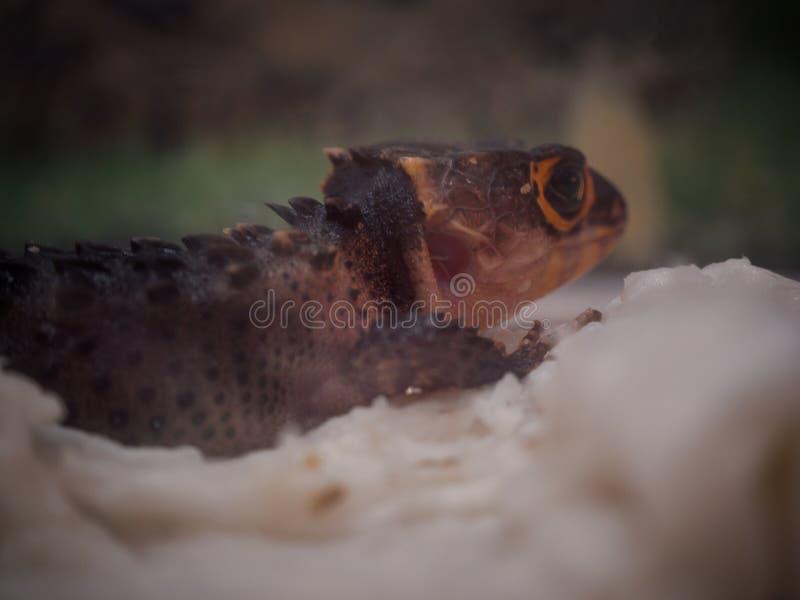 Chiuda sul coccodrillo con gli occhi rossi Skink immagini stock