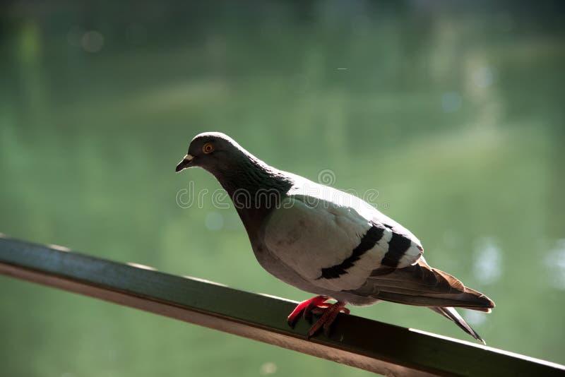 Chiuda sul colpo capo di bello uccello del piccione viaggiatore della velocità fotografia stock