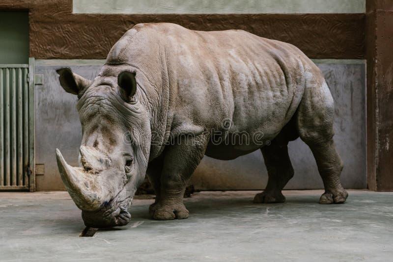 chiuda sul colpo della condizione bianca pericolosa di rinoceronte immagini stock libere da diritti