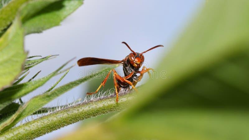 Chiuda sul colpo della vespa sulla pianta immagine stock libera da diritti