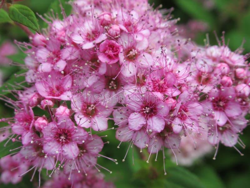 Chiuda sul colpo di piccoli fiori rosa luminosi freschi, la primavera 2018 fotografie stock