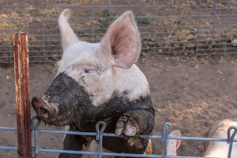 Chiuda sul colpo in testa di singolo giovane maiale rosa domestico sporco serio con il fronte fangoso e le grandi orecchie fotografie stock libere da diritti