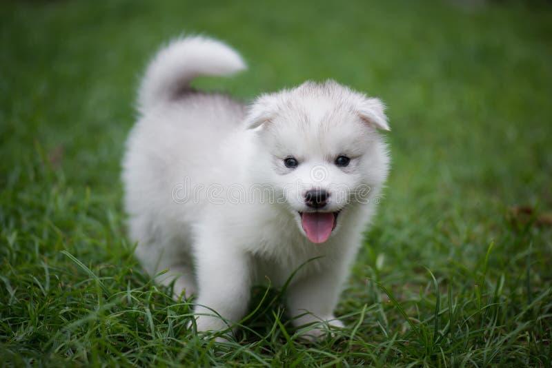 Chiuda sul cucciolo sveglio del husky siberiano fotografie stock libere da diritti