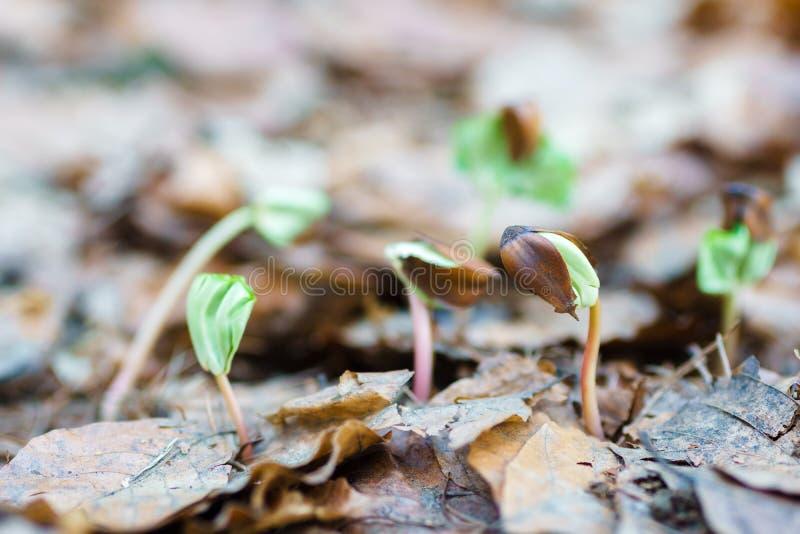 Chiuda sul faggio dei semi di germinazione fotografia stock libera da diritti