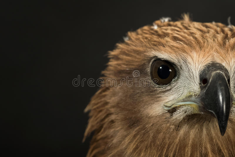 Chiuda sul falco rosso fotografie stock libere da diritti