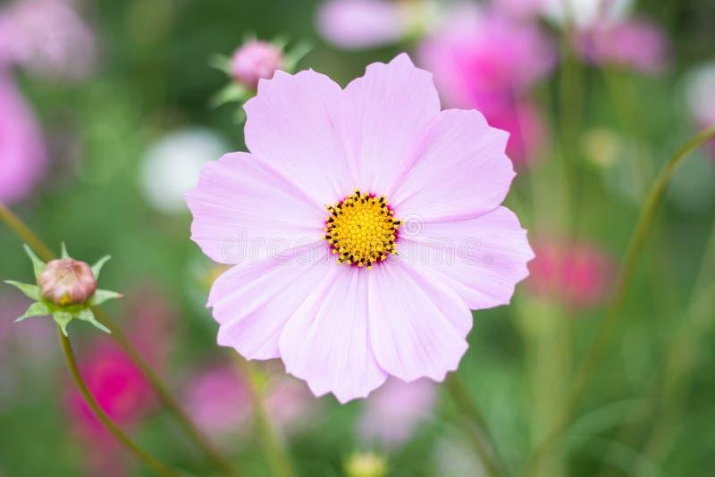 Chiuda sul fiore dell'universo fotografia stock