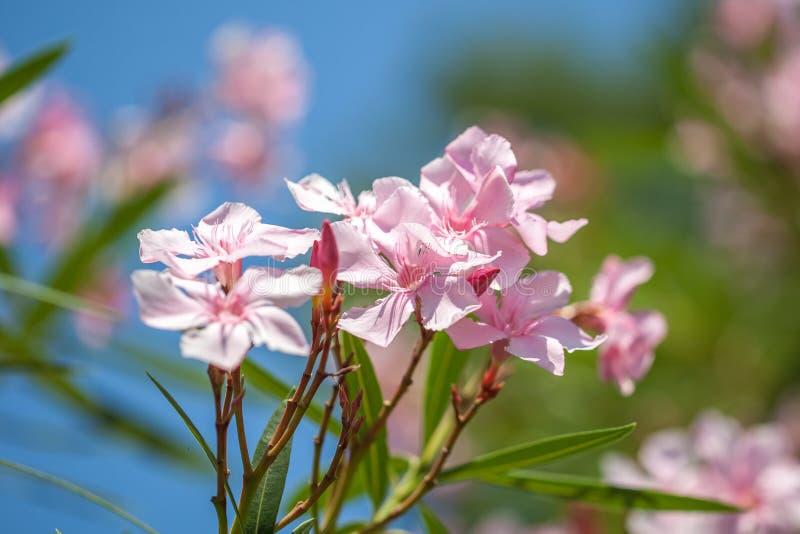 Chiuda sul fiore dolce rosa molle dell'oleandro Bloomin dolce dell'oleandro fotografia stock