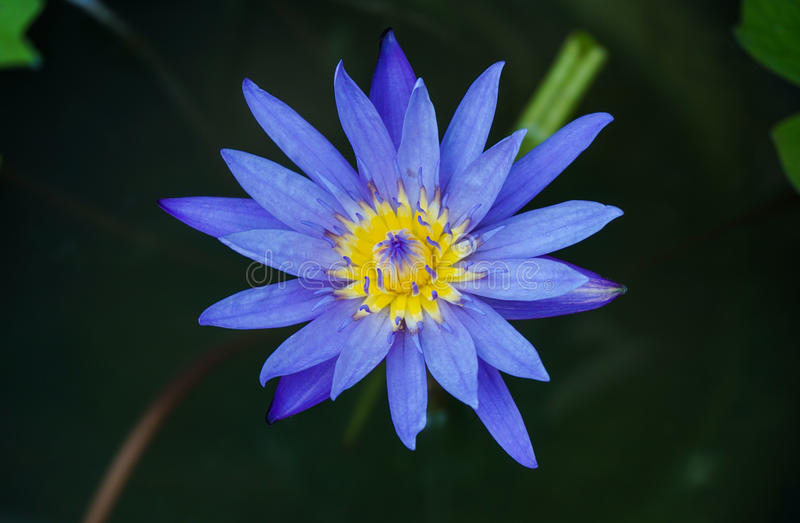 Chiuda sul fiore fresco del loto immagine stock