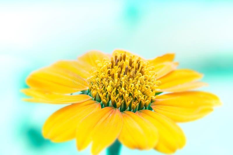 Chiuda sul fiore giallo con il tono blu del fondo del ligh fotografie stock libere da diritti