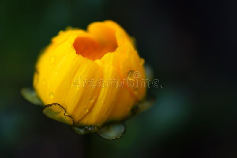 Chiuda sul fiore giallo con le goccioline di acqua immagine stock libera da diritti