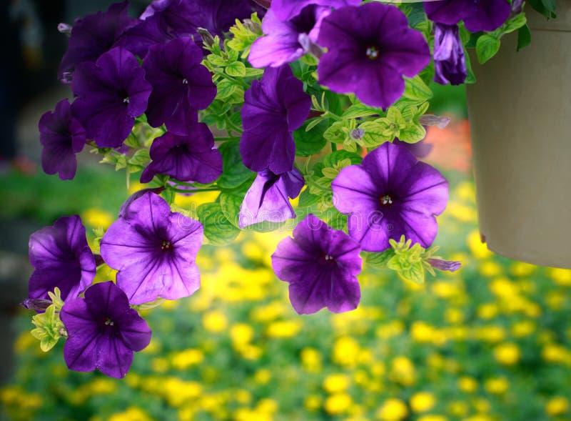 Chiuda sul fiore porpora in piantagione d'attaccatura decorata in giardino fotografia stock