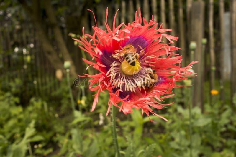 Chiuda sul fiore rosso del papavero da oppio immagini stock
