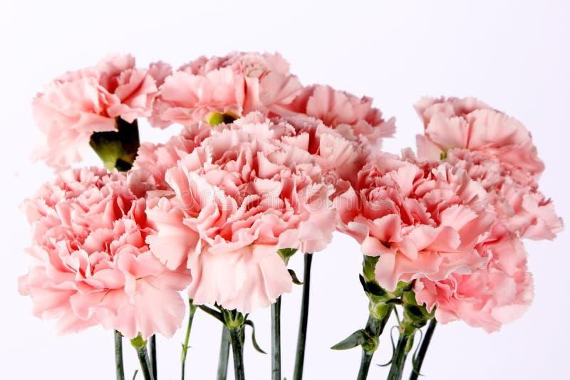 Chiuda sul fiore variopinto del Dianthus fotografia stock libera da diritti