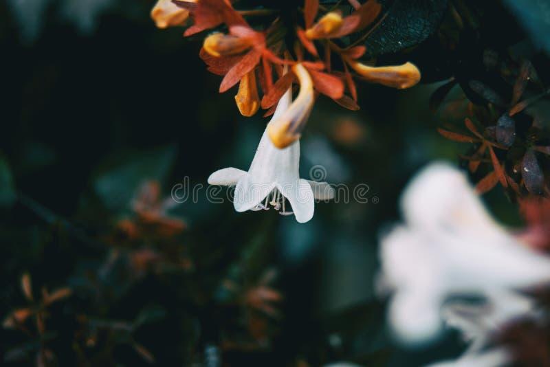Chiuda sul fondo bianco di colore del piccolo fiore variopinto fotografie stock
