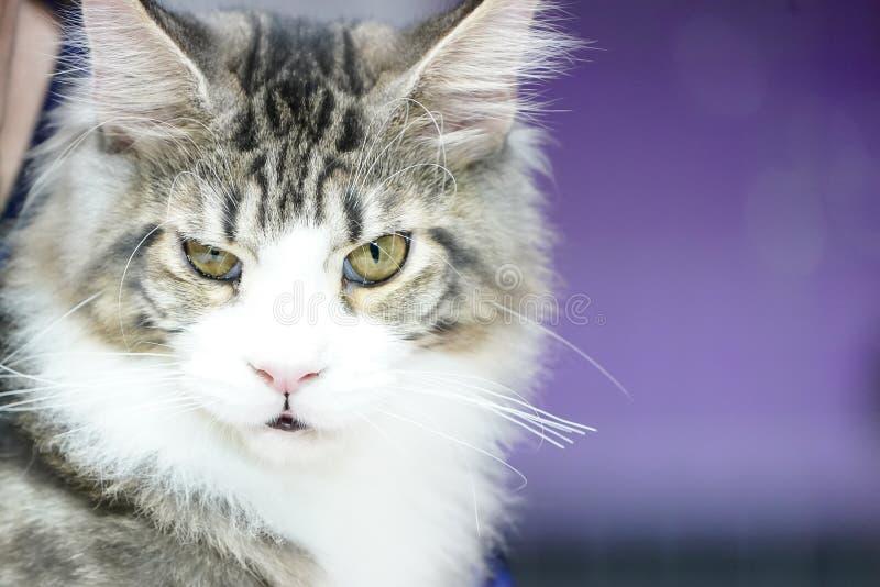 Chiuda sul fronte del gatto di tigre e sui peli lunghi di bianco-Brown delle basette lunghe immagine stock libera da diritti