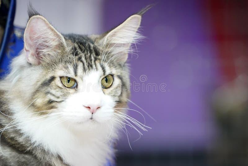 Chiuda sul fronte del gatto di tigre e sui peli lunghi di bianco-Brown delle basette lunghe fotografie stock libere da diritti