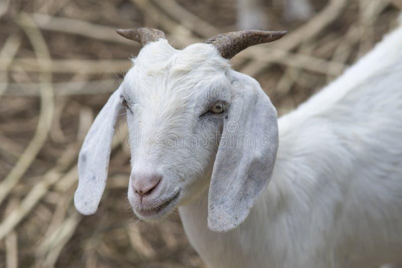 Chiuda sul fronte della capra bianca, ritratto della capra fotografia stock libera da diritti