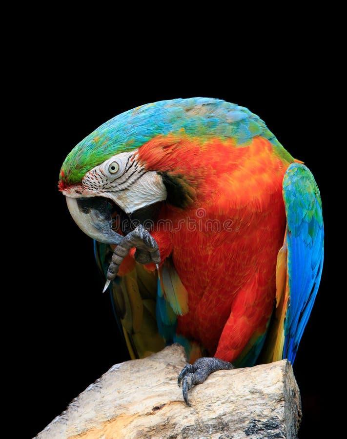 Download Chiuda Sul Fronte E Sulla Fattura Sostituti Adorabili Degli Uccelli Rossi Dell'ara Di Scralet Fotografia Stock - Immagine di becco, pertica: 55355306