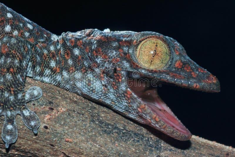 Chiuda sul gecko fotografia stock