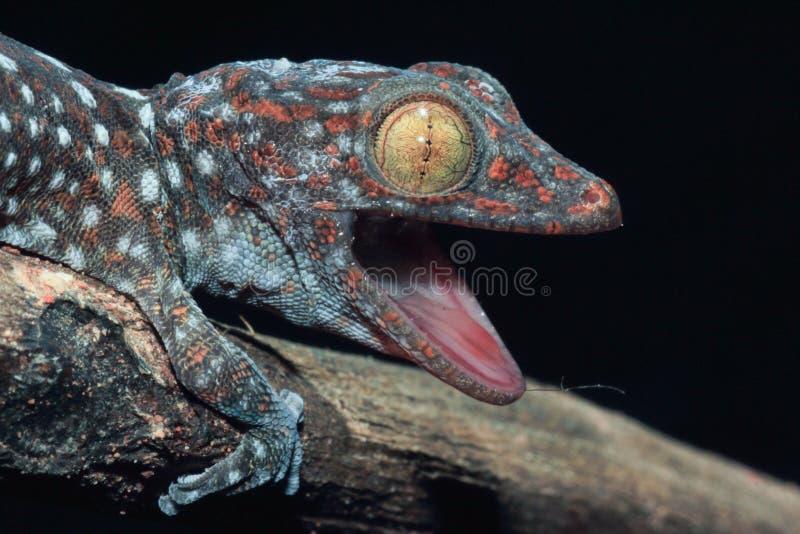 Chiuda sul gecko fotografie stock libere da diritti