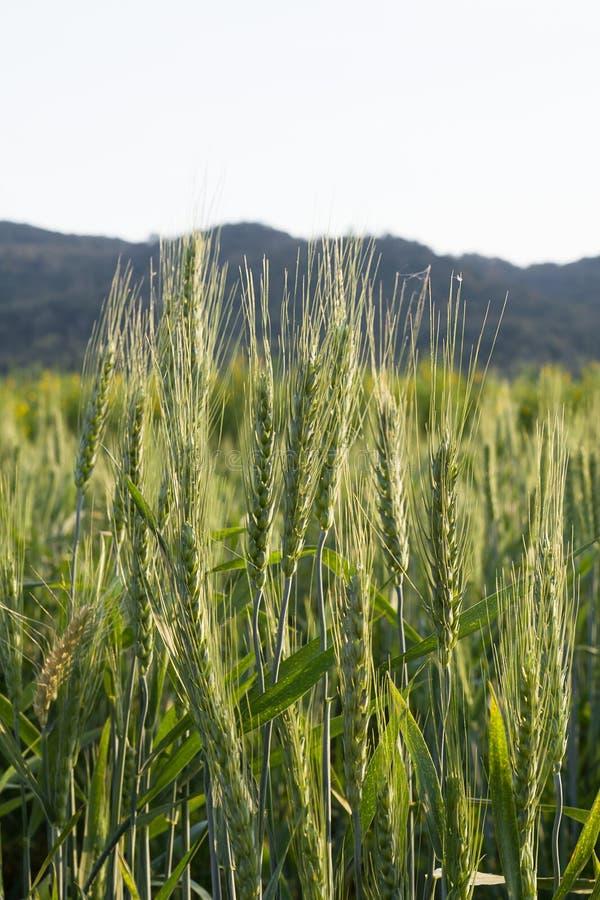 Chiuda sul giacimento di grano nel lato del paese fotografia stock
