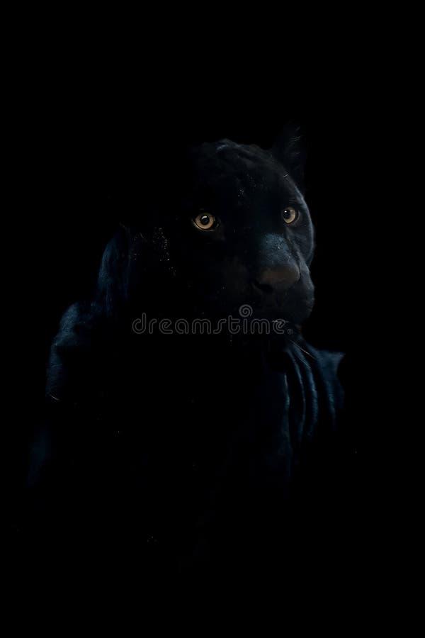 Chiuda sul giovane giaguaro nero isolato sul nero fotografie stock libere da diritti