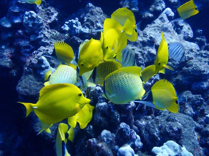 Chiuda sul gruppo di farfalla e di Tang tropicali gialli del pesce su Ree fotografia stock libera da diritti