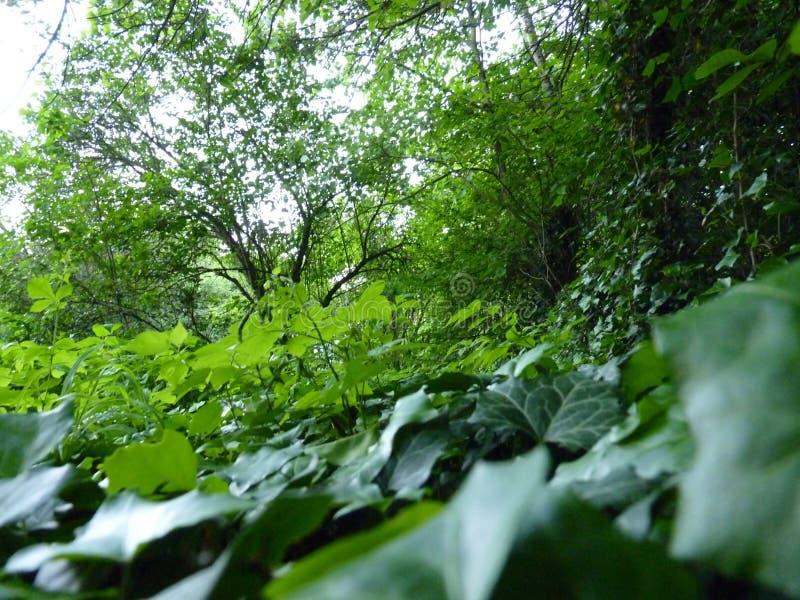 Chiuda sul macro dettaglio di Ivy Covering Ground verde immagini stock libere da diritti