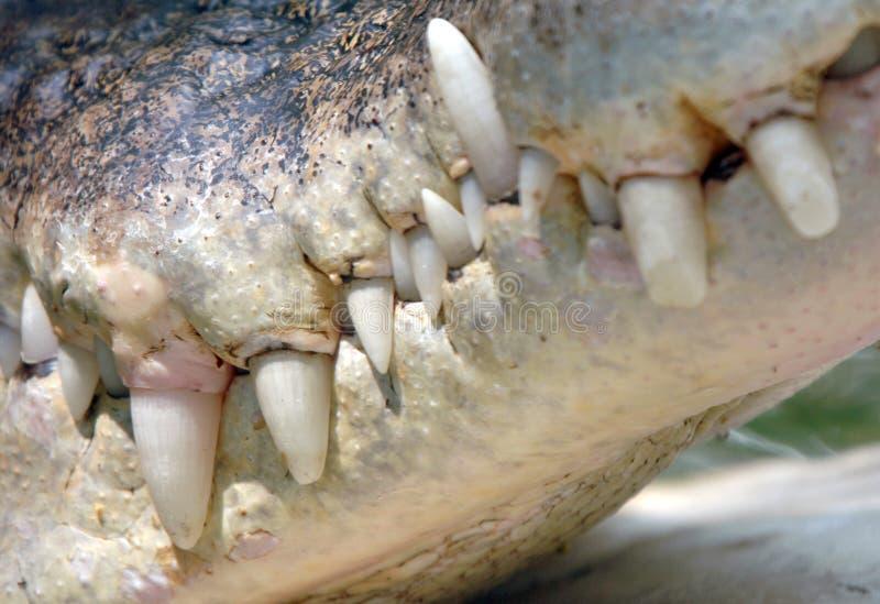 Chiuda sul mouth&teeth del coccodrillo dell'acqua salata, Tailandia fotografie stock