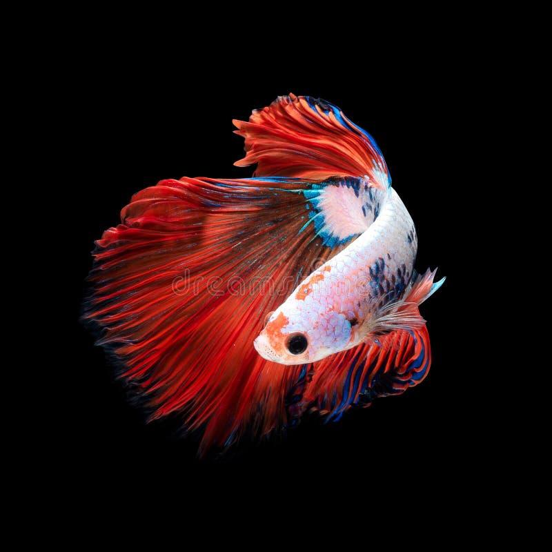 Chiuda sul movimento di arte del pesce di Betta o del pesce siamese di combattimento isolato su fondo nero immagini stock