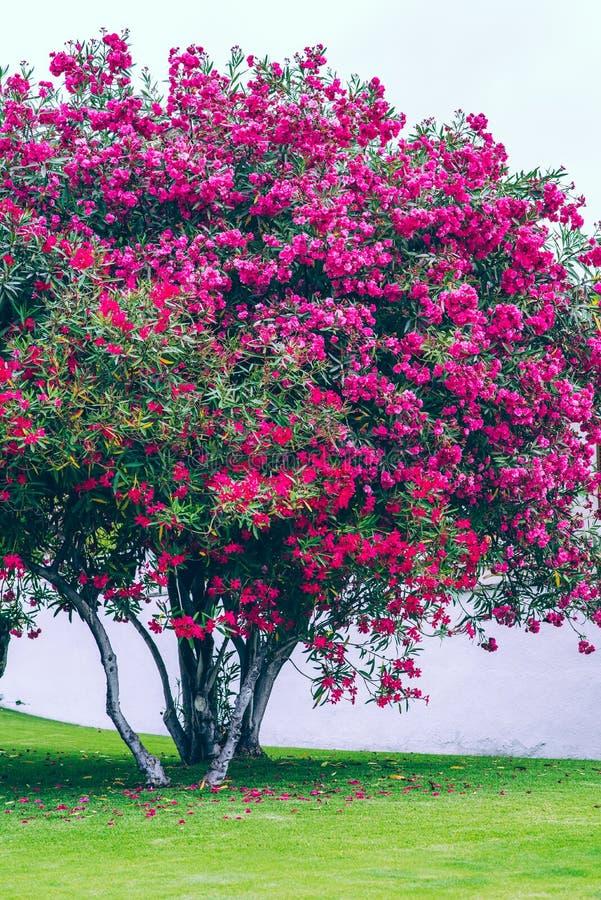 Chiuda sul nerium rosa rombante dell'oleandro fotografia stock