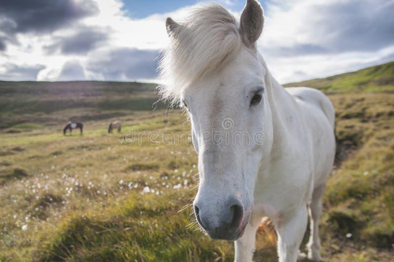Chiuda sul punto di vista del cavallo bianco del icelandig che sta sul pascolo in Islanda fotografia stock libera da diritti
