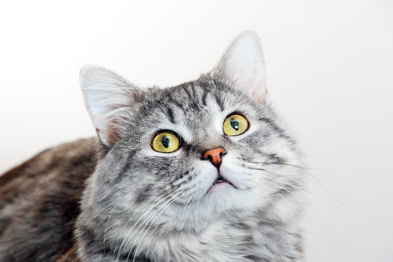 Chiuda sul punto di vista del gattino sveglio del soriano grigio Animali domestici e concetto di stile di vita immagini stock libere da diritti