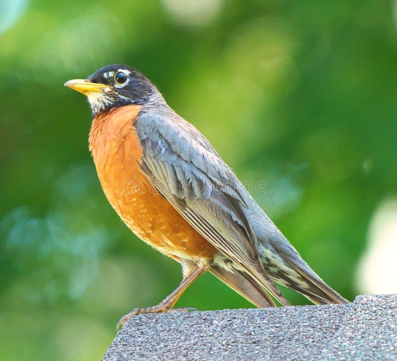 Chiuda sul punto di vista dettagliato dell'americano Robin immagine stock