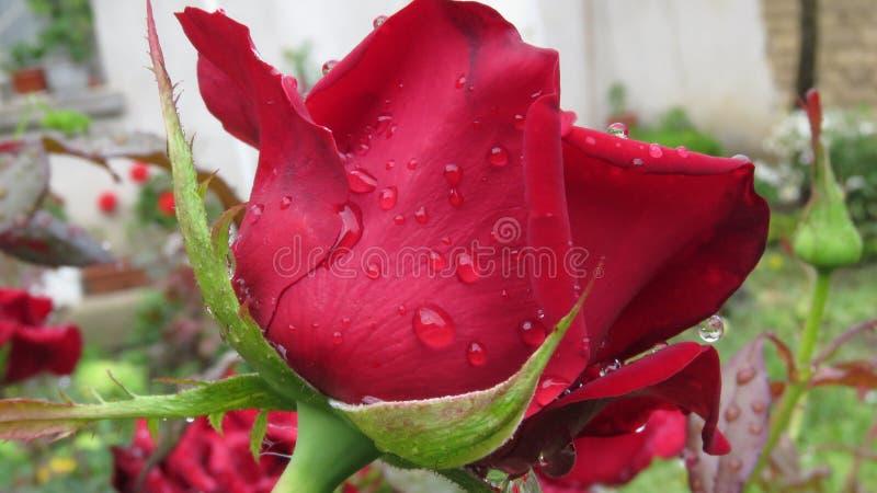 Chiuda sul punto di vista di Rose Bud rossa con le gocce di pioggia della rugiada fotografia stock libera da diritti