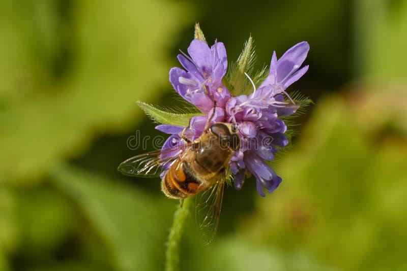 Chiuda sul punto di vista di un'ape sui petali viola del fiore fotografie stock