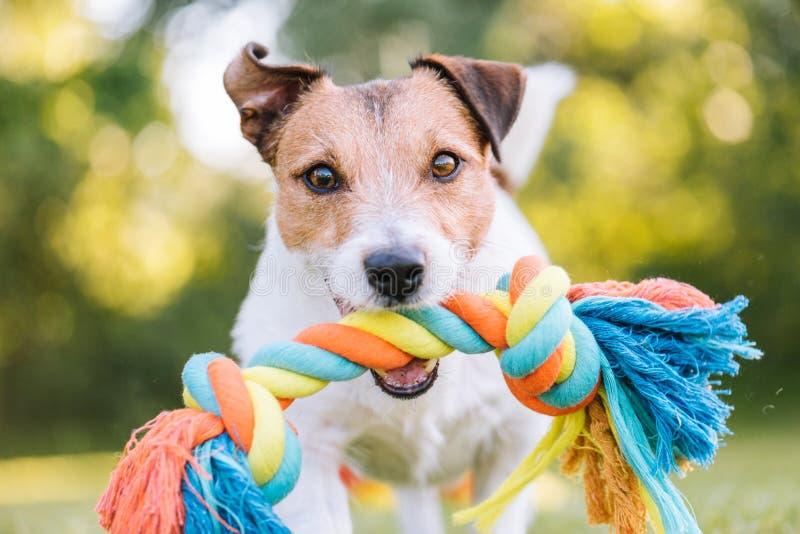 Chiuda sul ritratto del cane che gioca l'ampiezza con la corda variopinta del giocattolo immagini stock